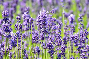 lavender essential oils for work