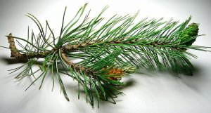 pine essential oils for work